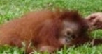 Program tv marti Insula Urangutanilor Animal Planet