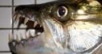 Program tv  Monster Fish Nat Geo Wild
